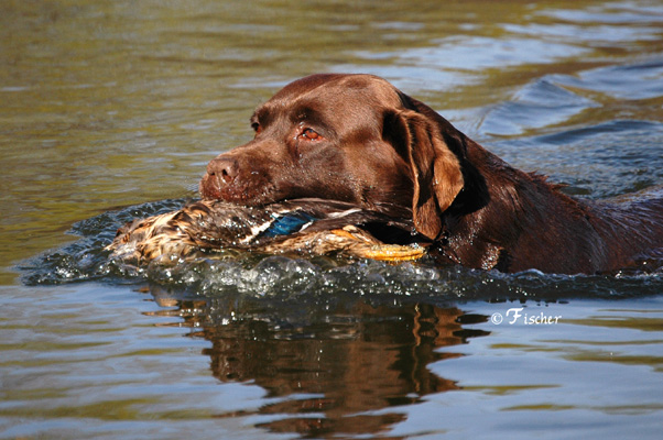 Hunting Labs Chocolate Lab Duck Hunting